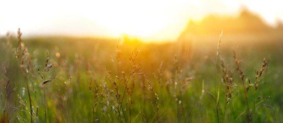Field with spikelets of grass against the setting sun