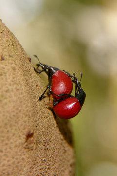 Kamelhalskäfer