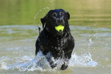 Schwarzer Labrador apportiert Ball im Wasser