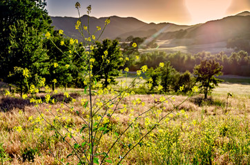 Mustard plant wild flower with California meadow and hazy mountains background and sun flare; focus on flower.