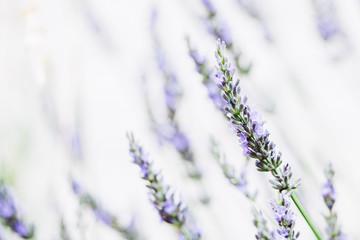Tuinposter Lavendel Brin de lavande dans la lumière du soleil