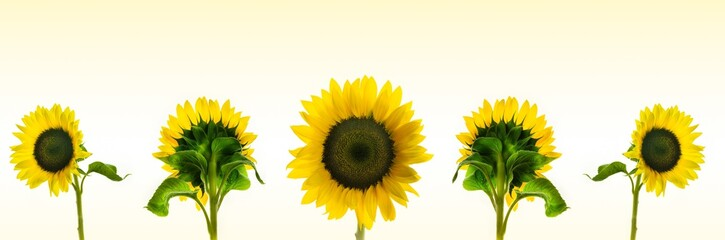 High resolution panoramic photo montage of individually colour graded Sunflowers Fototapete