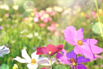 Fototapete - Wildblumen Wiese - Grußkarte Cosmea mit Bokeh