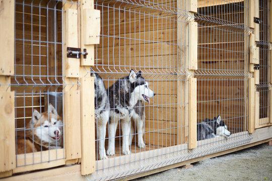 Dog kennel with Siberian Husky.