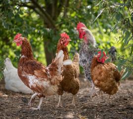 Papiers peints Poules Hühnerschar im freiland