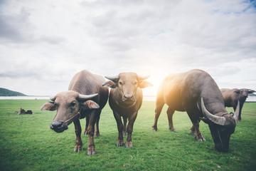 Photo sur Aluminium Buffalo thai water buffalos eating grass in field