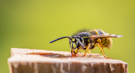 A wasp is sitting at a food source. Concept close-ups of insects.