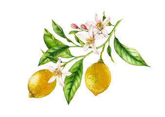 Lemon fruit tree branch with flowers leaves. realistic botanical watercolor composition: two whole citrus, isolated artwork on white hand drawn fresh tropical food yellow design element