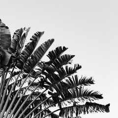 Beautiful banana tree. Natural minimal background in black and white colors. Summer and travel concept.