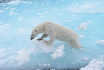 Deurstickers Ijsbeer Wild polar bear going in water on pack ice in Arctic sea