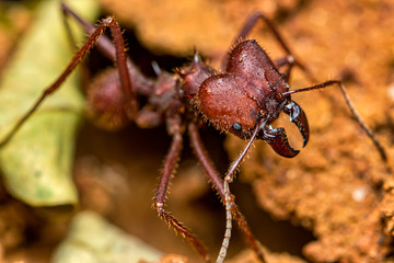 Leaf cutter ant, scientific name Atta ssp aka Saúva ant  -  macro photography of a Leafcutter ant in the anthill, macro photography of nature