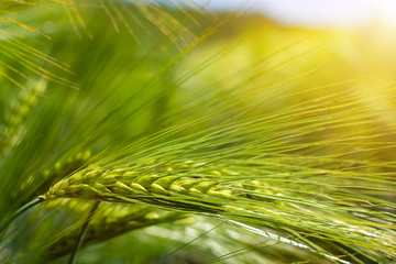 Foto auf AluDibond Orange spikelets of green brewing barley in a field.