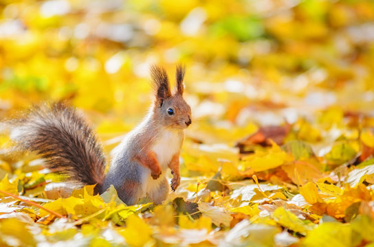 Portrait of cute squirrel sitting on the ground among the many fallen yellow maple leaves in the autumn park in St Petersburg. Beautiful autumn background
