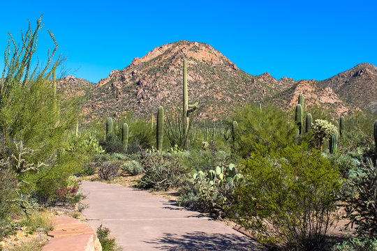 Desert Mountain and Cuctus in Saguaro National Park