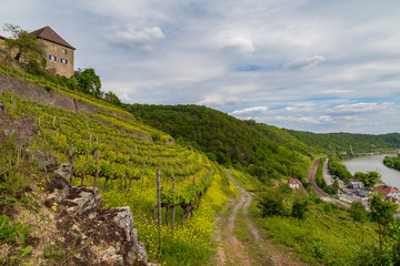 yellow blooming vineyards and a castle at the river Neckar in Germany