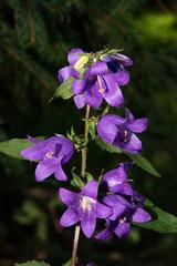 Fleurs du Québec