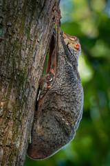 Sunda flying lemur - Galeopterus variegatus or Sunda colugo or Malayan flying lemur or Malayan colugo, found throughout Southeast Asia in Indonesia, Thailand, Malaysia, and Singapore