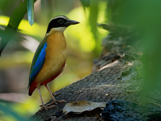 Blue-winged Pitta - Pitta moluccensis  passerine bird in the family Pittidae native to Australia and Southeast Asia