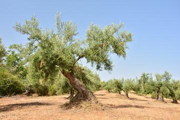 Photo sur Toile Oliviers Olivos en un olivar de un campo de Andalucía, España