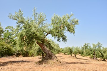 Papiers peints Oliviers Olivos en un olivar de un campo de Andalucía, España