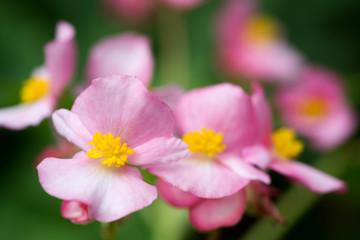 ピンクのベゴニアの花のアップ