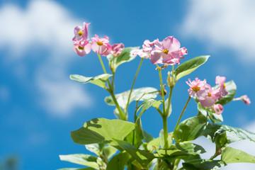 青空の下のベゴニアの花