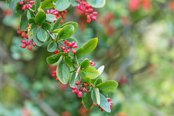barberry tree branch with red berries and green leaves. closeup view on blurred background