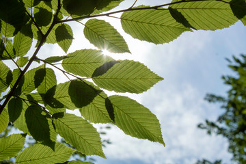 Close-up shot of the leaves of the American beech tree.