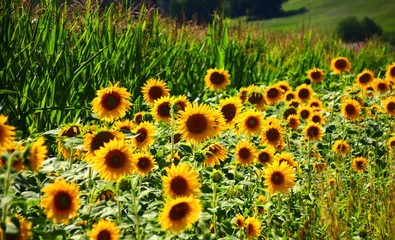 Fotoväggar - feldrand blüstreifen sonnenblumen