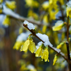 Image of forsythia flowers under sudden spring snow.