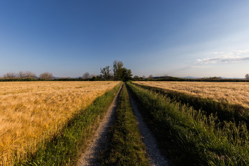 A path in the middle of a cultivated field full of golden wheat with some trees at distance, beneath a blue sky with white clouds
