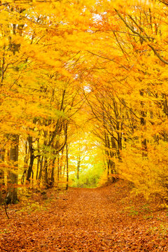 Golden fall forest hiking trail going forward