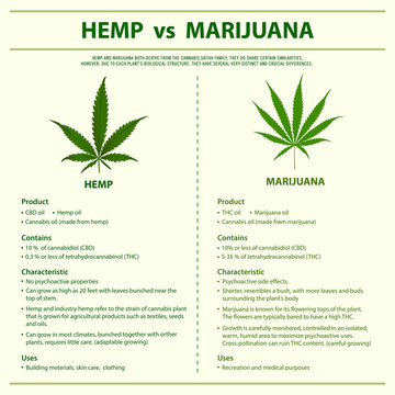Hemp vs Marijuana square infographic illustration about cannabis as herbal alternative medicine and chemical therapy, healthcare and medical science vector.