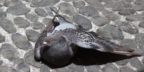 Pigeon on street