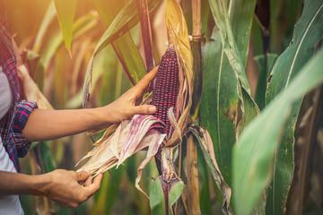 Corn in hand, natural background, Fresh corn on corn Fotoväggar