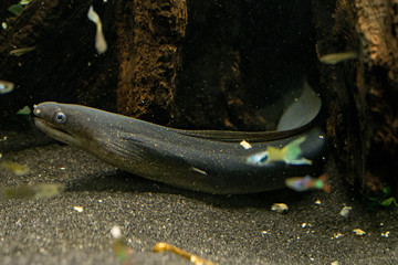 Indian Mud Moray searching for food