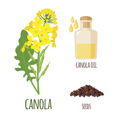 Canola Flowers with Pod and Seeds in flat style.