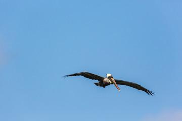Wildlife with Pelican bird on Caribbean island  of Curacao