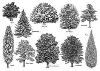 Obraz Tree collection, illustration, drawing, engraving, ink, line art, vector - fototapety do salonu