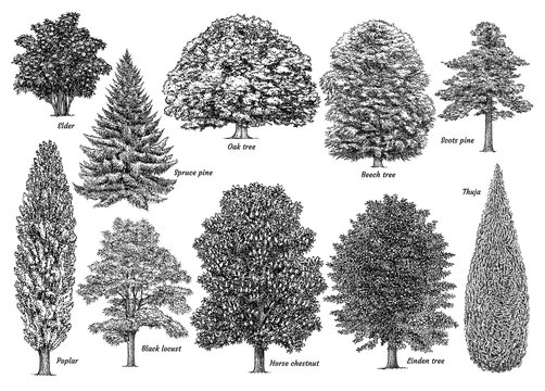 Tree collection, illustration, drawing, engraving, ink, line art, vector