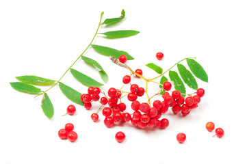 Red ashberry isolated on white background