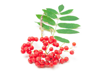 Red rowan berries close up on white background