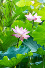 Garden Poster Lotus flower Lotus flower and Lotus flower plants