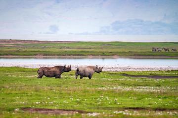 Endangered black rhino or Diceros bicornis in african savannah