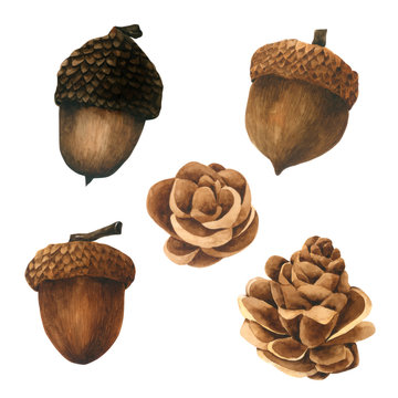 Pine Cone watercolor collection on white background Hand drawn painting