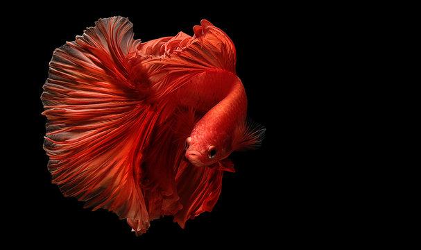 red  color of Siamese fighting fish betta Thailand fish movement