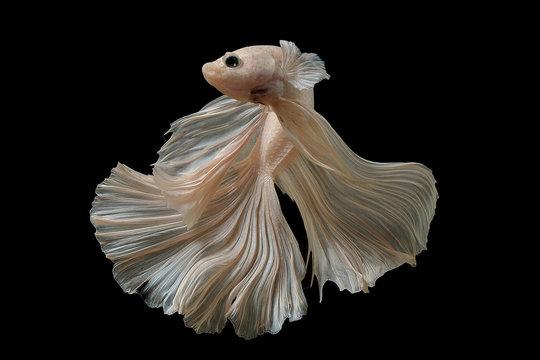 white color of Siamese fighting fish betta Thailand fish movement