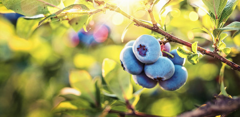 Juicy and Fresh Blueberries with Green Leaves