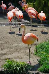 Pink flamingo birds standing on one leg