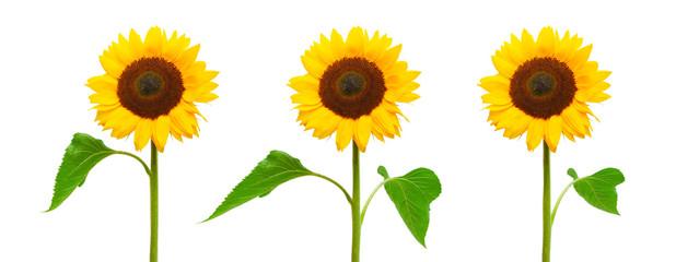 Photo sur Aluminium Tournesol Drei Sonnenblumen isoliert auf weißem Hintergrund